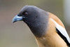 Rufous Treepie