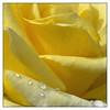 4th year Pic 217 - Sep - 21 2012. Yellow Rose -  Taj Gateway Hotel, Coonoor
