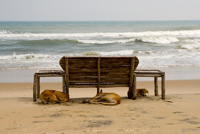 Paradise Beach Pondicherry, India  ADDED IN RESPONSE TO COMMENTS:  These are stray dogs and not wild as they grow up amongst people. A few of them could be 'ferocious' but most co-exist very peacefully with street people.  Majority of the stray dogs in India adapt to their neighbourhood very easily, in most cases thanks to the friendly people in the locality. While there is a system in place to keep a check on strays, often their extended families (read people) jump to the defense of their friendly, harmless four legged pals.  more pics:  http://Hershy.smugmug.com/gallery/3951305_mw7Dp/1/289184725_zpLUc  travel and other info on Pondicherry  http://tourism.pondicherry.gov.in/