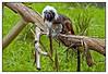 Cottontop Tamarin - Auckland Zoo